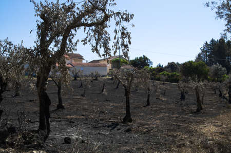 Olive tree field burnt down right next to the homes of the small village of Lameira Cimeira. Caused by a massive forest fire. Pedrogao Grande, Portugal.