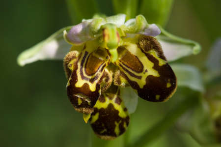 Wild Bee Orchid (Ophrys apifera) deformed flower with triple labellum over a natural green out of focus background. Portugal.