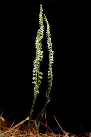 Large uncommon forms of wild Autumn Ladys Tresses orchid (Spiranthes spiralis) over a black background. Monsanto natural park, Lisbon, Portugal.