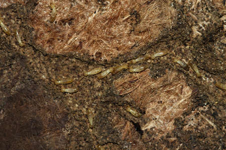 Termite workers of Kalotermes flavicollis species tunneling of an old and rotten carpet. Soft and pale colored body.