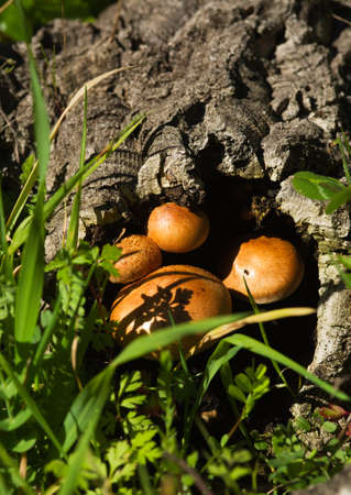 Rounded golden mushrooms (Gymnopilus suberis) growing inside of a dead cork tree log fallen into a green weeds field. Arrabida mountains, Portugal. Stock Photo