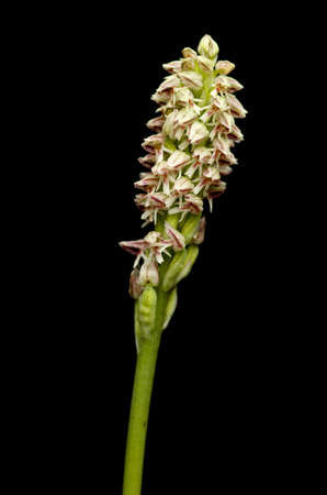 Ligther form of a wild Dense flowered Orchid inflorescense (Neotinea maculata) isolated over a black background. Vila Vicosa, Portugal.