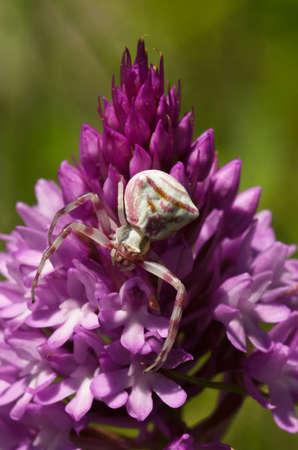 Crab spider (Thomisus onustus) hiding in plain sight, camouflaged on a wild Pyramidal orchid (Anacamptis pyramidalis). Serra da Arrabida, Portugal. Stock Photo