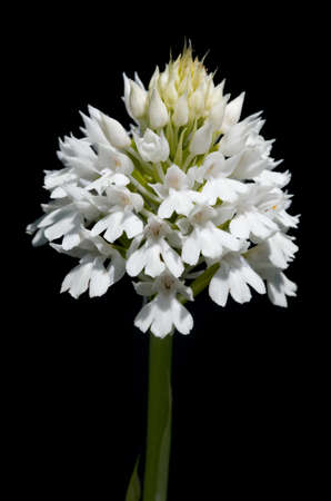 Rare white flowers inflorescence - albiflora - version of wild pyramidal orchid (Anacamptis pyramidalis) isolated over a black background. Serra da Arrabida, Portugal. Stock Photo