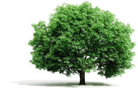 solitary tree: 3d tree render on white background Stock Photo
