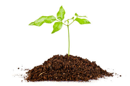 fresh green plant  in a mound of dirt  photo