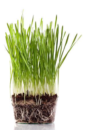 fresh green wheat seedling photo