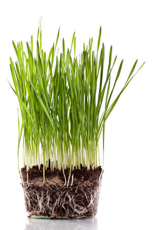 fresh green wheat seedling Stock Photo - 12385020