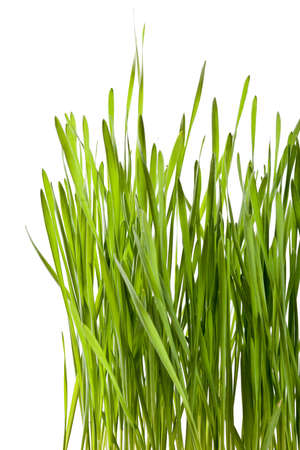 fresh green wheat seedling Stock Photo - 12385018