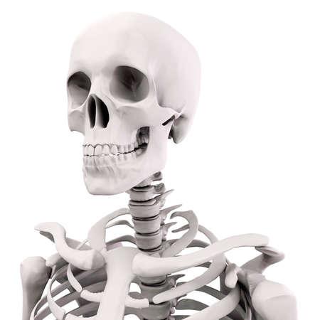 3D menschlichen skelett auf weißem Hintergrund