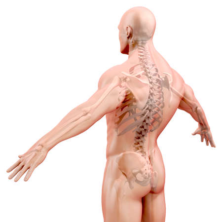 spine x ray: 3d render of human body and skeleton