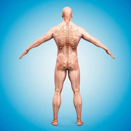 anatomie humaine: 3d render du corps humain et squelette