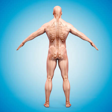 corpo umano: Rendering 3D del corpo umano e skeleton