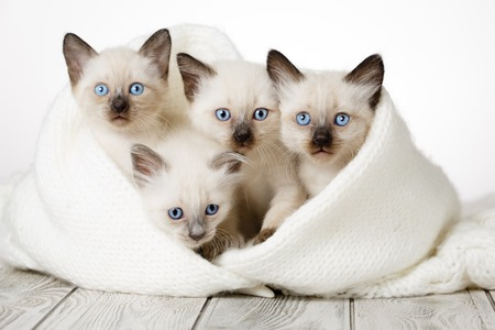 Cute kittens on a wooden white background in a cozy blanket. Fluffy kittens 免版税图像