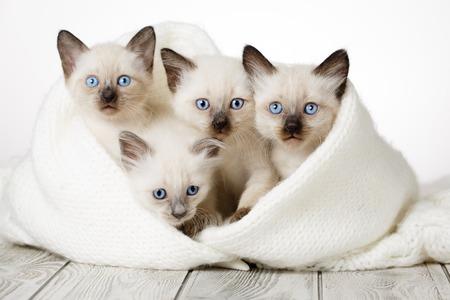Słodkie kociaki na drewnianym białym tle w przytulnym kocu. Puszyste kocięta Zdjęcie Seryjne
