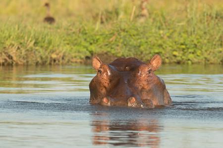 Hippo Head in River Closeup Stock Photo