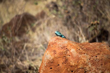 Blue Lizard on Orange Stone