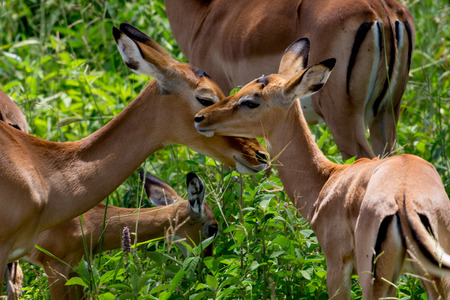 African Impala in Front of Green Bushes