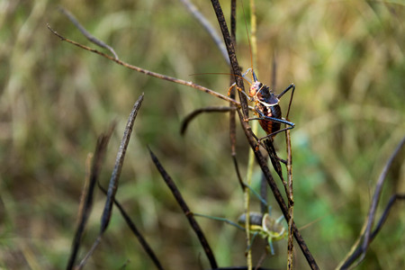 African Grasshopper on Brown Stick