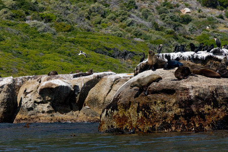 Seals Relaxing in Sun and Jumping from Cliffs into the Sea Stock Photo