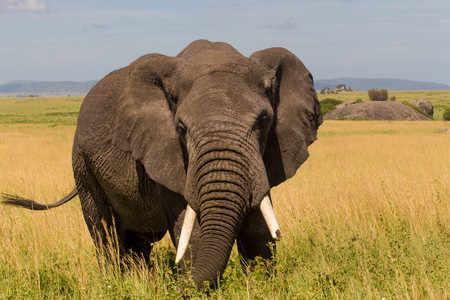 African Elephant With Ears Widened in Safari Park in Green Grasslands Stock Photo