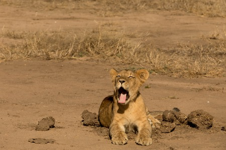 Small Lion Cup next to Elephant Dung Yawning Stock Photo