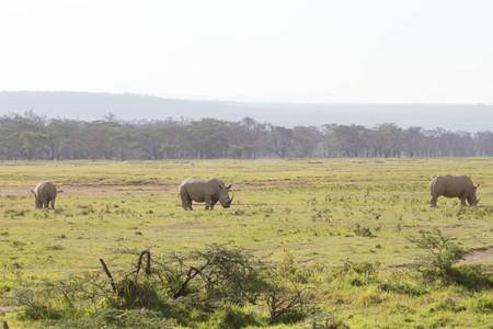 Three Grazing Rhinos in African Savannah