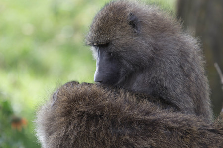 Closeup of African Baboons