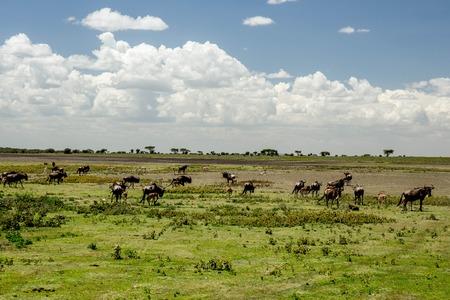 African Wilder Beast Herd on Green Grassland Stock Photo