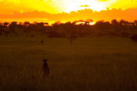 African Cheetah in Front of Sunset