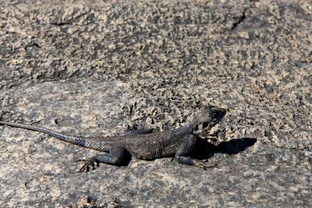 Grey Lizard on Stone Closeup Stock Photo