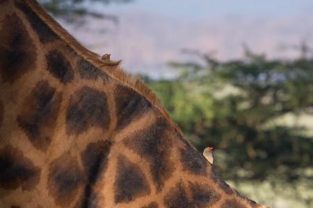 Two Ox pecker on Giraffe Neck