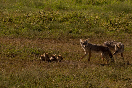 African Jackal Family with 4 Young Cubs