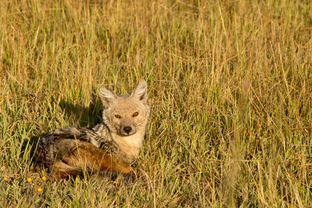 African Jackal in the Savannah Lying in the Sun on Green Grass