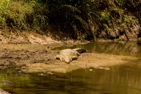 African Nile Crocodile on Sandbank at the Riverside