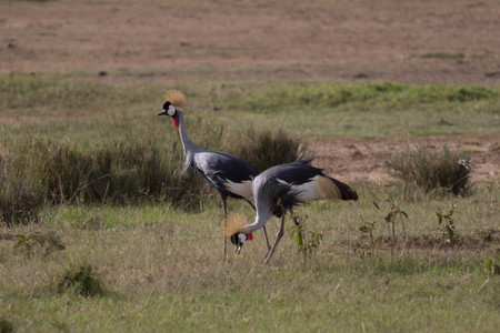 Two Crowned Crane on Green Grass