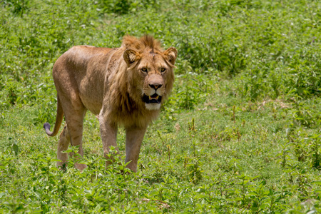 Male Lion with Open Mouth in Green Grassland