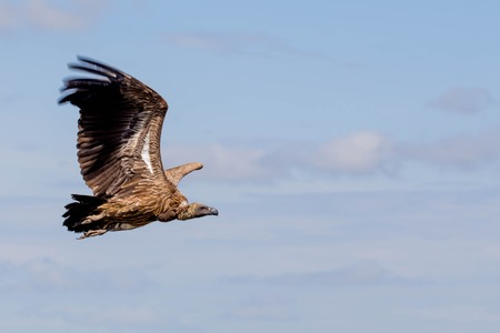 African Vulture with Huge Wings in the Sky: Side View