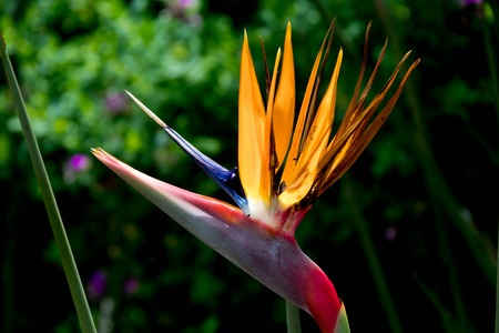 Exotic Flower in Orange, Blue and Pink in Front of Green Forest Stock Photo