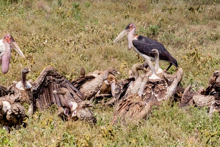 African Wilder Beast Carcass with Vultures and Malibu