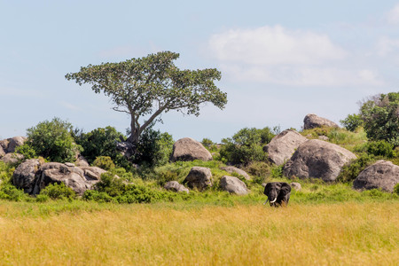 African Elephant in Green Grass in Front of Rocks, Tree and Blue Sky