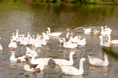 A Group of White Goose Swimming in a Lake Surrounded by Green Nature