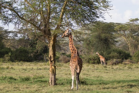 Two Giraffes Eating from Trees in Wildlife Park