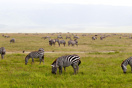 African Zebra Herd with Heads Down on Green Grassland