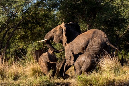 Small Elephant Family Running in Full Motion Away into the Forest Stock Photo