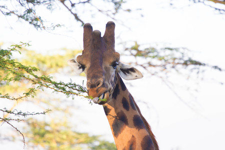 Closeup of Giraffe Head Whilst Eating from Tree with Tongue Outside Stock Photo