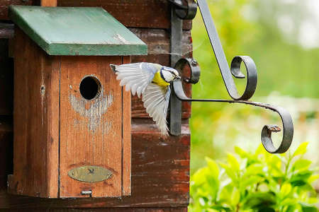 A great tit flies from the nest box in search of food for the young birds 版權商用圖片