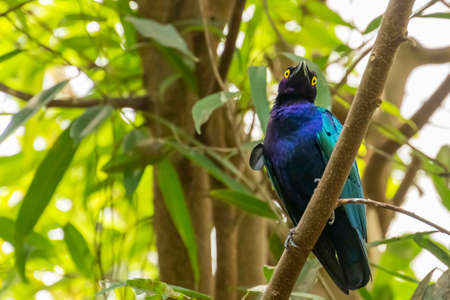 A Purple glossy starling (Lamprotornis purpureus) sitting on a branch