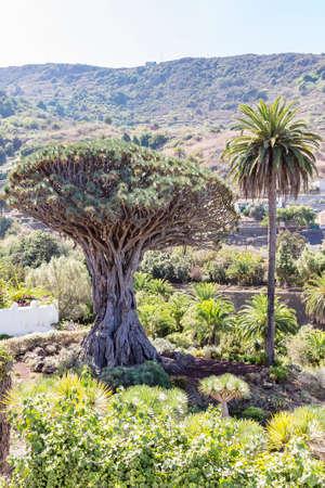 the world's largest dragon tree (El Drago Milenario) in Icod de los Vinos, Tenerife, Spain