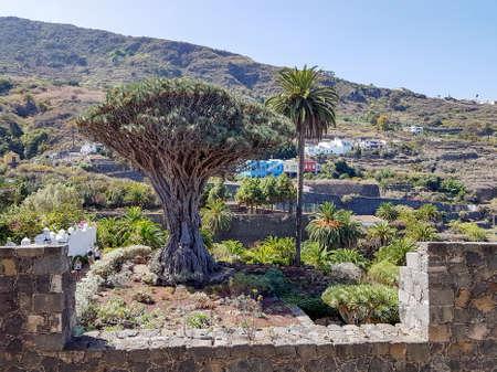Some tourists walk along the world's largest dragon tree (El Drago Milenario) in Icod de los Vinos, Tenerife, Spain